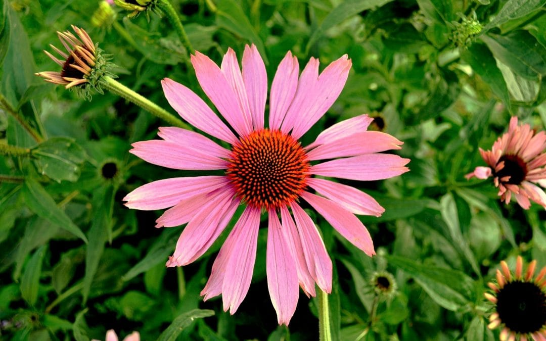 Echinacea – The Flower with Power!